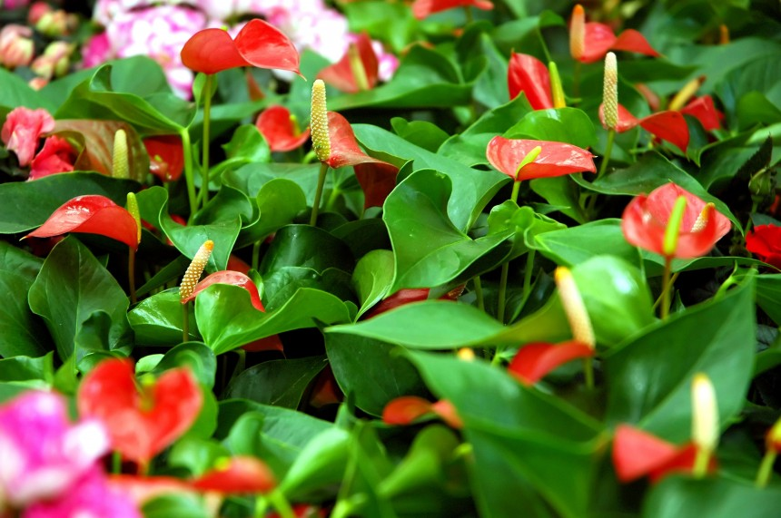 about With Our Aloha - anthurium farm