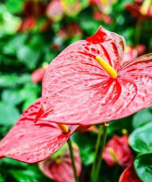 Hawaiian flower care