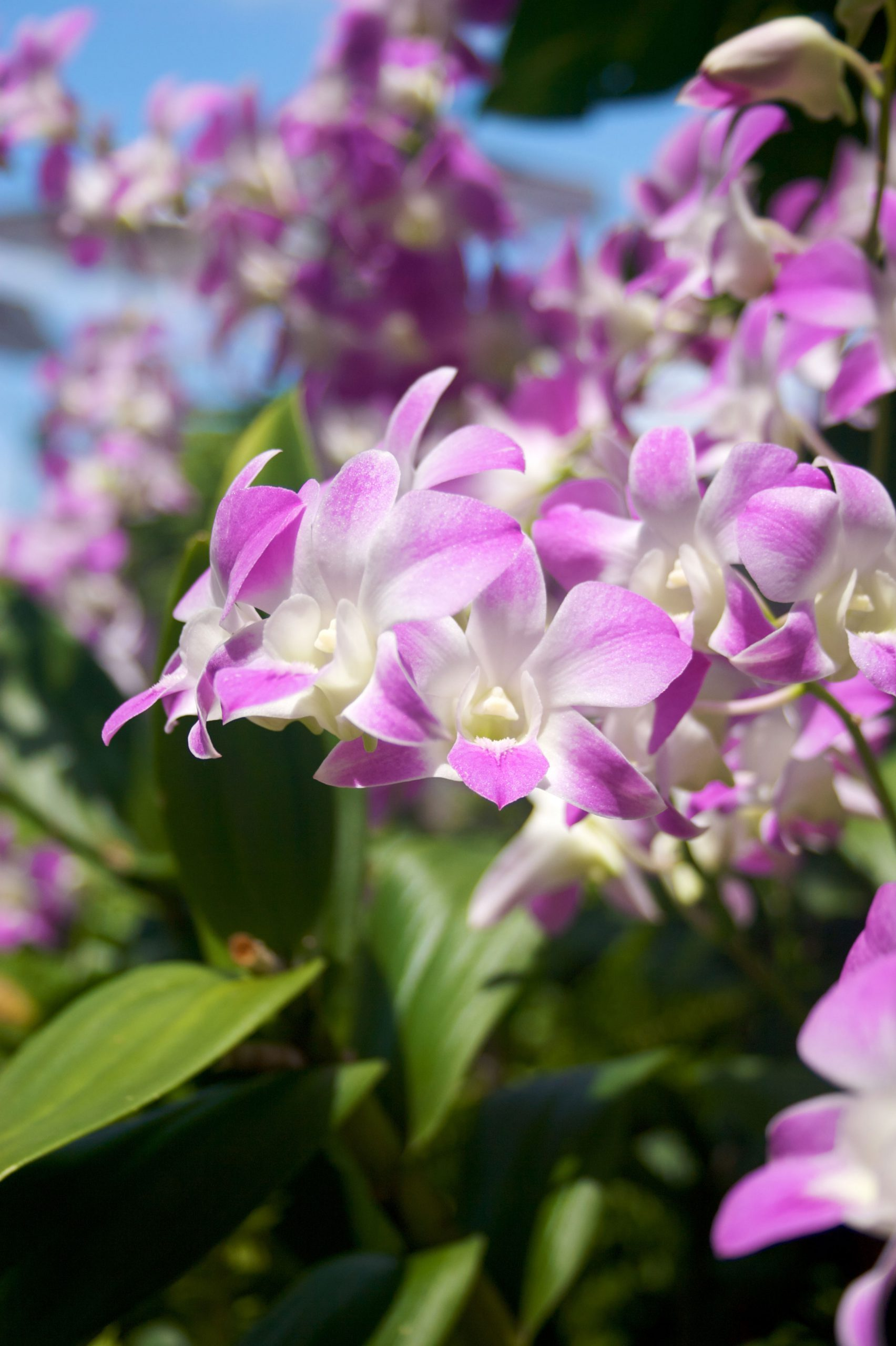 hawaiian orchids of the month