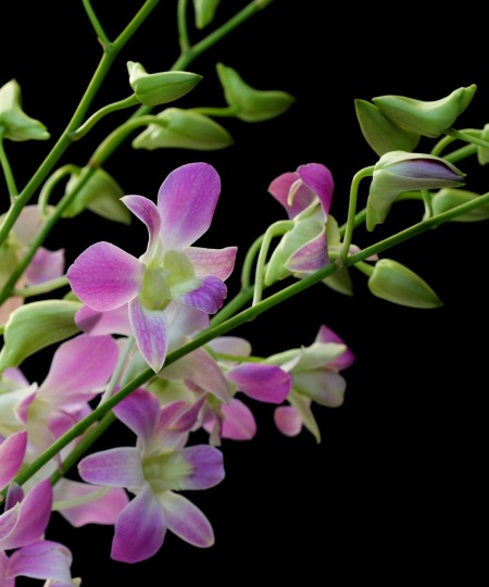 orchid sprays lavender