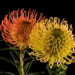 maui.pincushion.flower