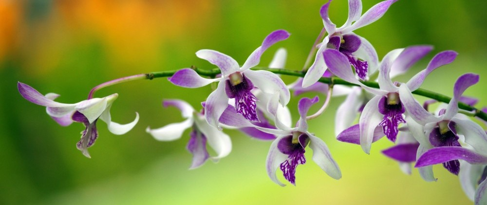 hawaiian.orchid