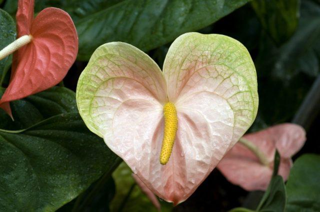 exotic.anthurium