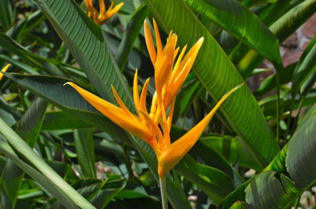 heliconia.tropic.fleur.yellow