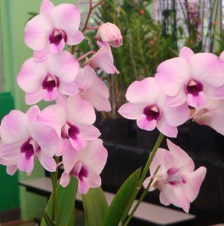 hawaiian dendrobium orchids pink blush