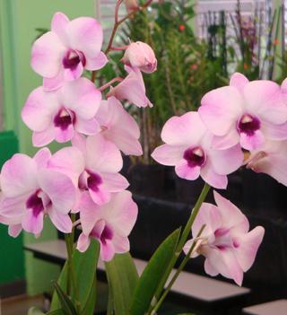 hawaiian dendrobium orchids pink blush