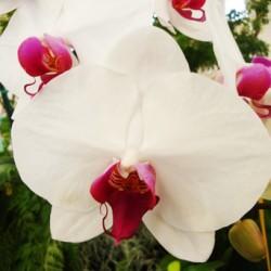 Phalaenopsis.orchid