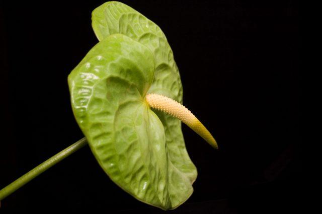 midori anthurium medium green