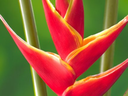 upright lobster claw heliconia