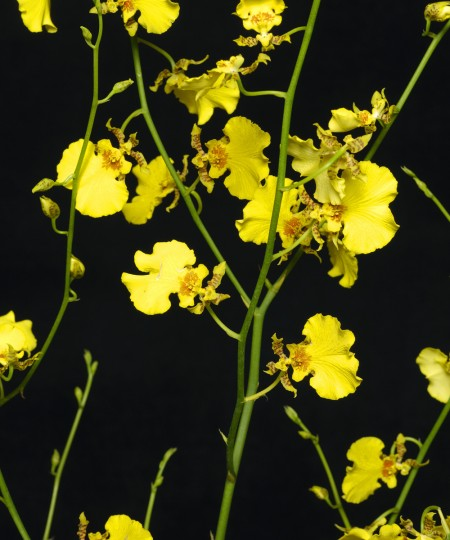 oncidium orchid sprays