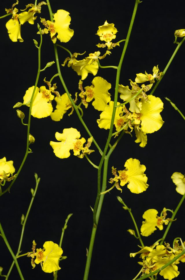 oncidium orchid sprays