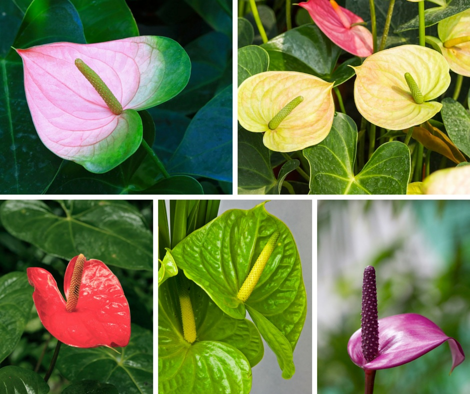 assorted anthurium blooms