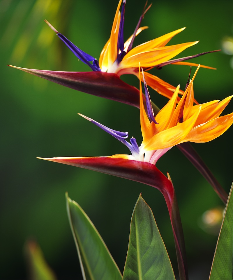 crane flower bird of paradise in bloom