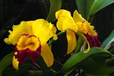 Brassolaeliocattleya orchid
