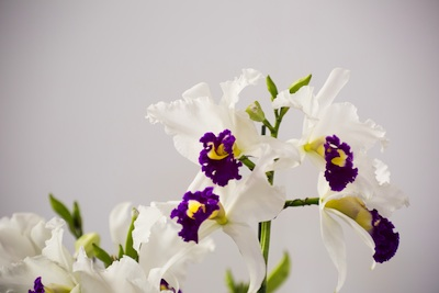 Orchid cattleya white with purple lip