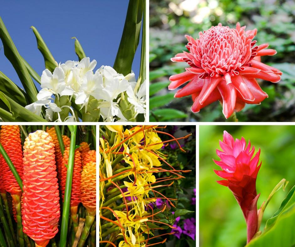 Hawaiian Flower Guide - Ginger