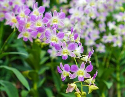 Lavender dendrobium orchid in bloom