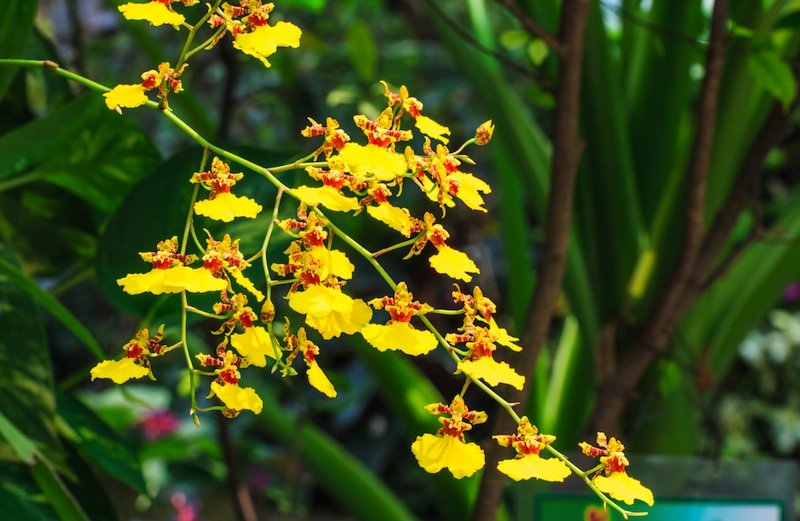 yellow.orchid.oncidium