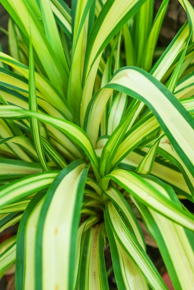 pandanus hala leaf