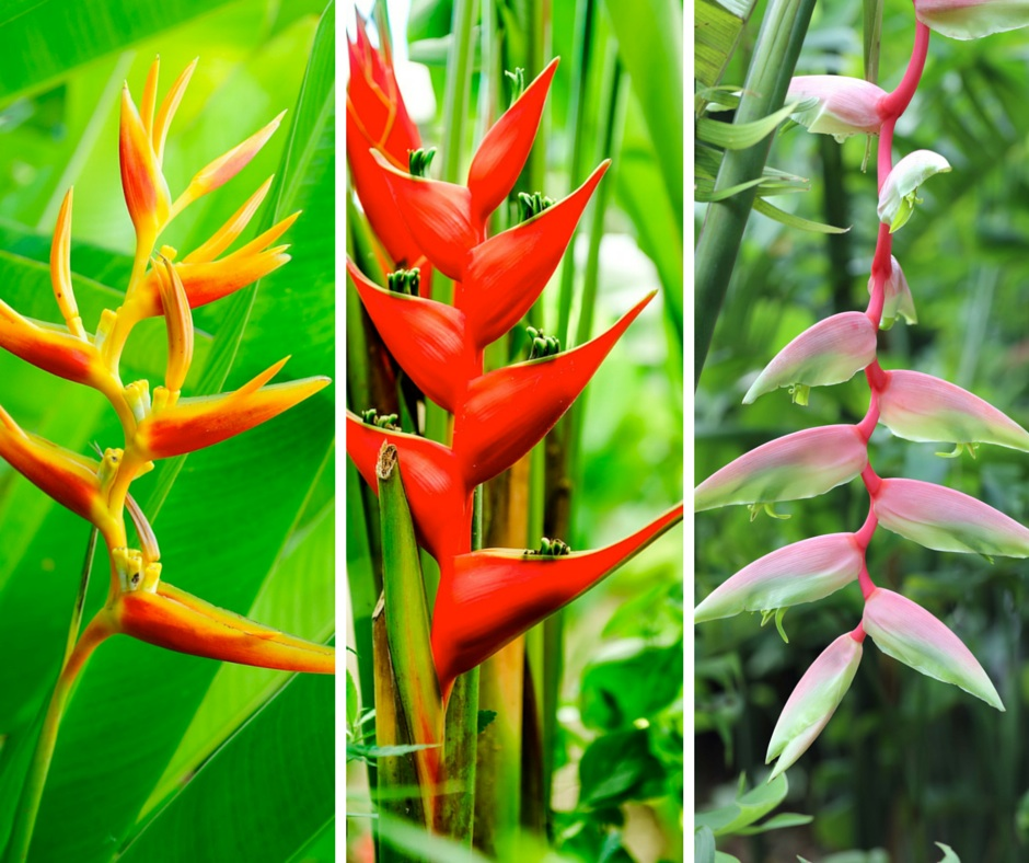 mixed.heliconia.flowers