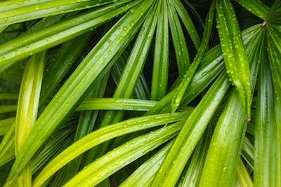 raphis palm decorative tropical foliage