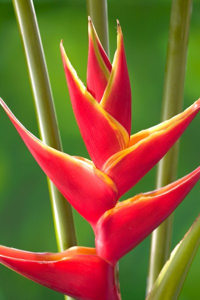 heliconia upright bloom in red