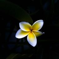 Hawaiian Plumeria