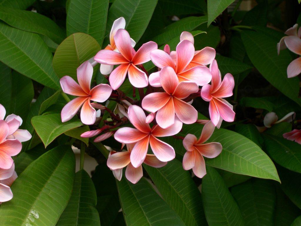 tropical flowers plumeria pink