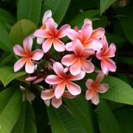 tropical flowers plumeria pink