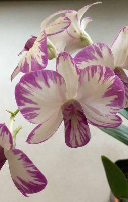 Honolulu Orchid Show Splash Orchid