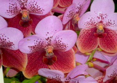 bright phaleanopsis