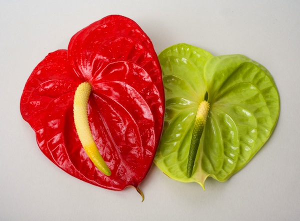 red and green anthurium mix